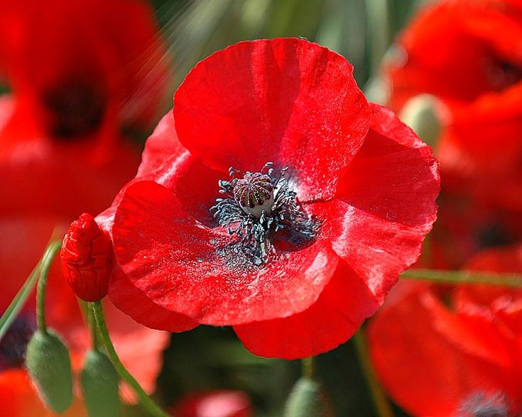 Red Corn Poppy Flower Seeds   Papaver Rhoeas (they Self Sow)
