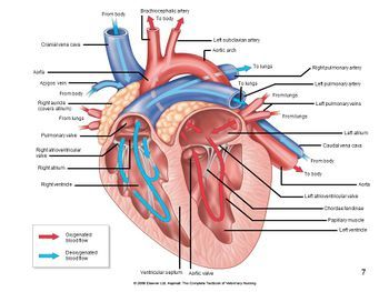 Heart Structure - Anatomy & Physiology - WikiVet English