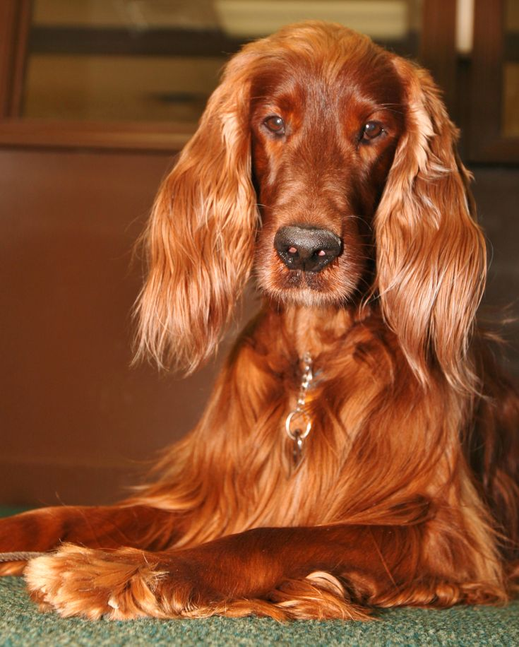 Irish Setter-Ginger Dog!