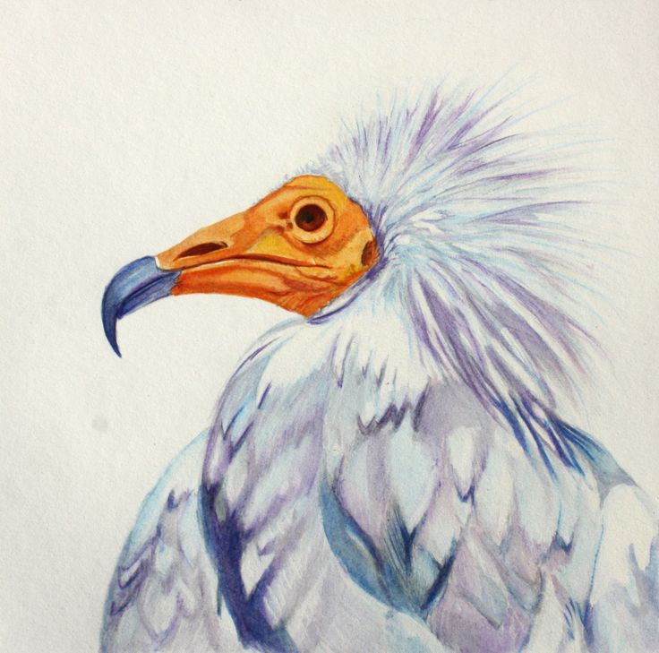 Water colour Bird painting. Egyptian Vulture