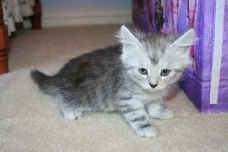 siberian lynx kittens for sale | Cute Cats Pictures