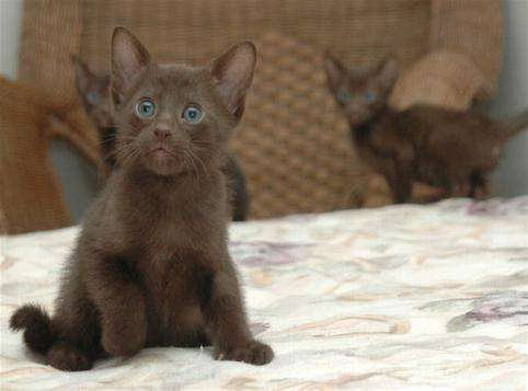 kittens for adoption kitten and cat classifieds havana brown cat