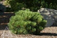 187 Best Images About Zpinaceae Pinus Pine On Pinterest