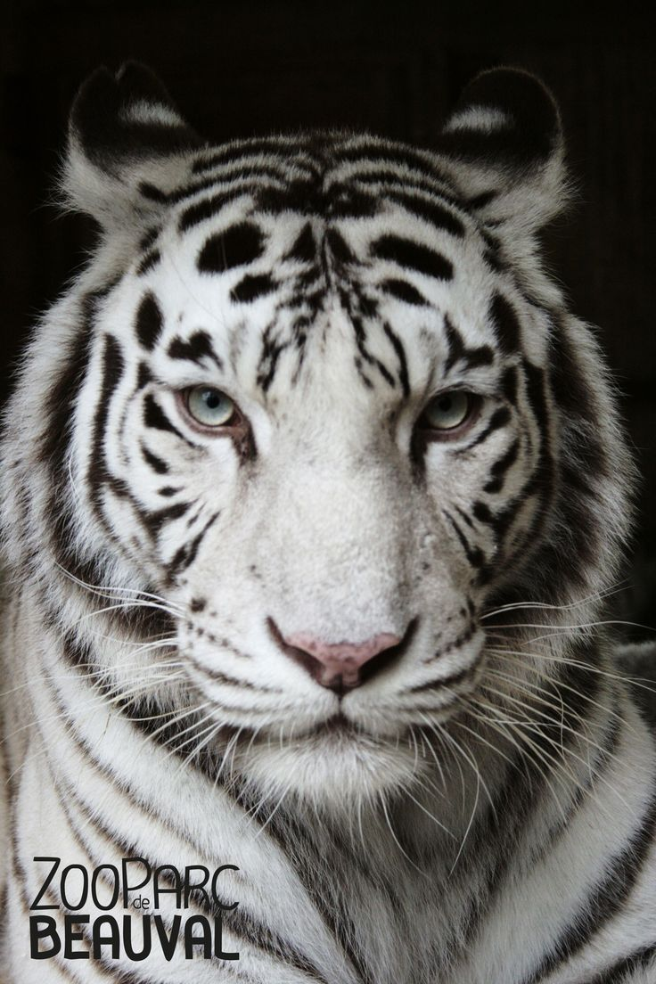 Chili, femelle tigre blanc du ZooParc de Beauval