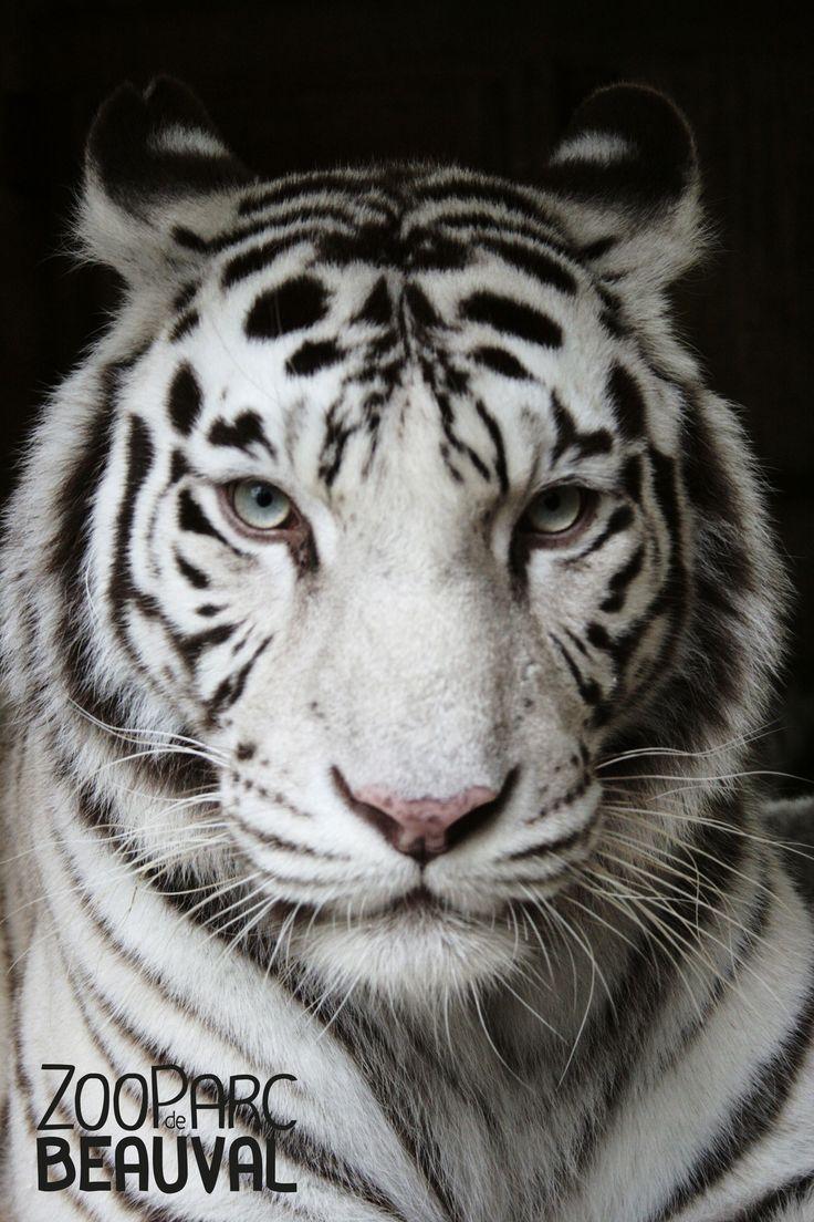 Femelle #tigre blanc du ZooParc de Beauval