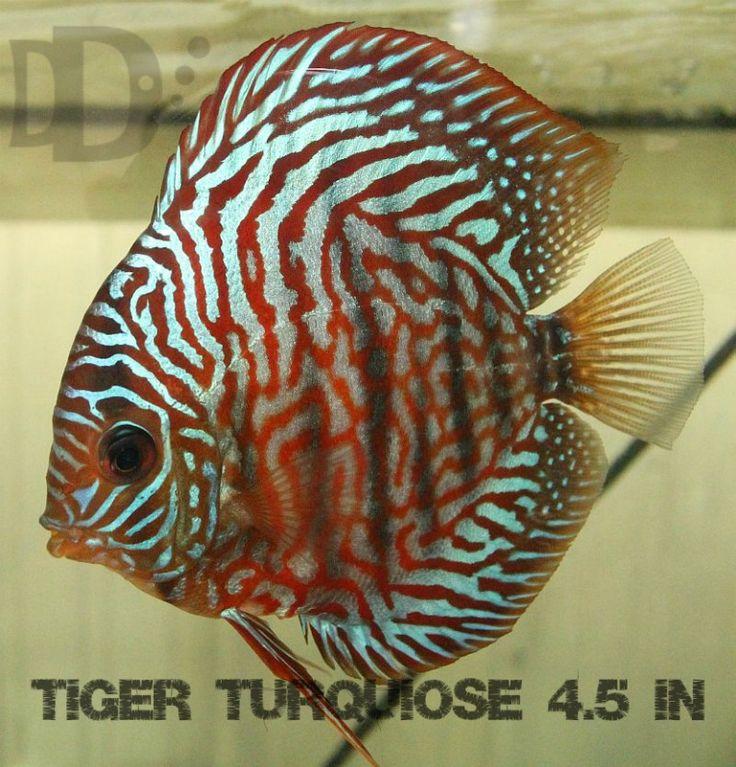 Tiger Turquoise Discus Fish Diskus Fiskar Scalarer
