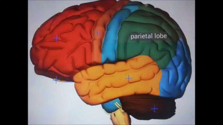 How does the brain function? Funcionamiento de cerebro #brain #cerebro #nerves #nervios #ideg #agy #működés  #lebeny #lobes #frontal #temporal
