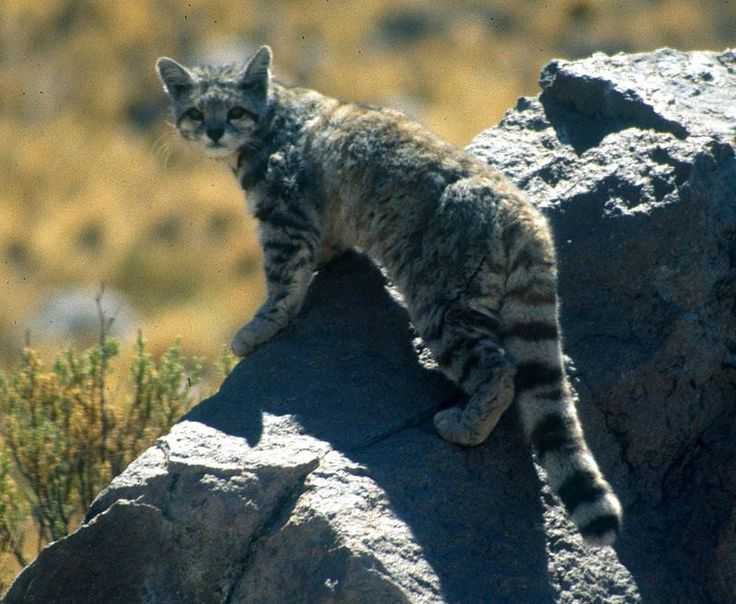 Andean Mountain Cat - Endangered Cat Species  #nature #cat #wildlife
