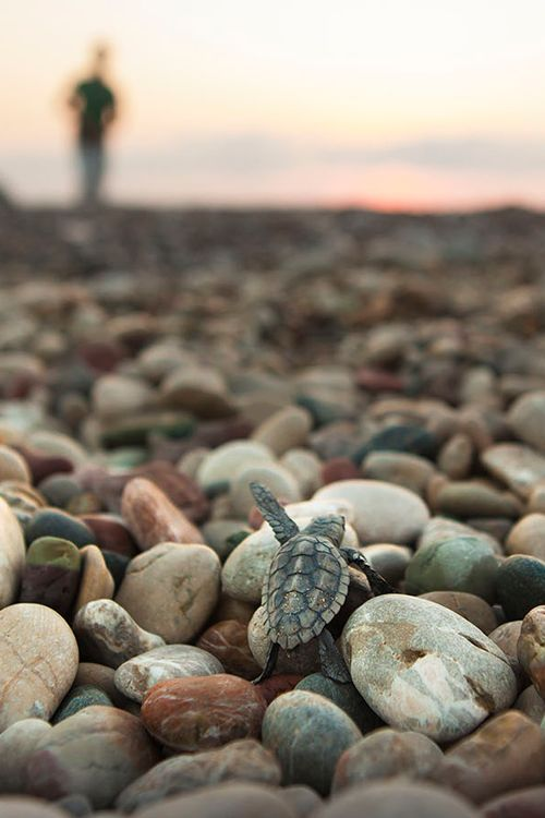 Baby turtle climbing the rocks to sea