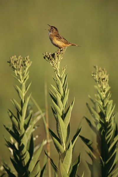 Small but mighty -  a four inch sedge wren proclaims his territory. Photo by Michael Forsberg.: Michael Forsberg, Forsberg Photography, Sedge Wren, Inch Sedge, Wren Proclaims, Native Habitat, Garden Native