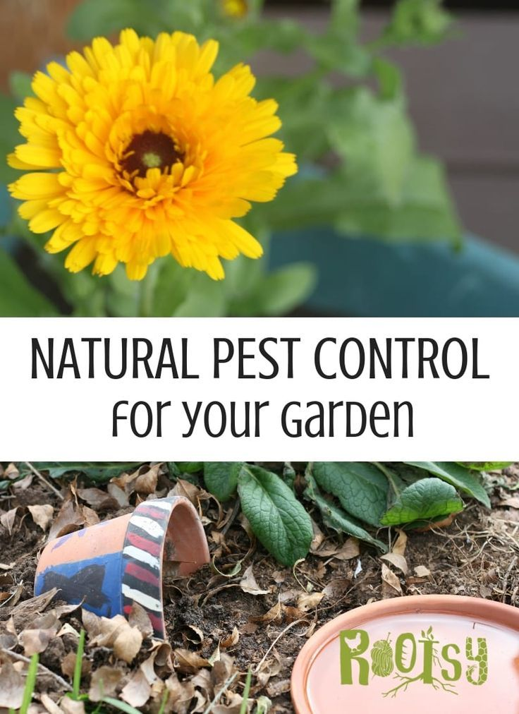 Natural Pest Control In The Vegetable Garden Natural Pest Control Organic Pesticide Organic Gardening Pest Control