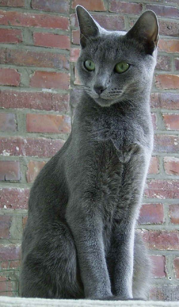 Cats breeds - blu of Russia