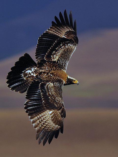 Verreau'x Eagle soaring by jawini