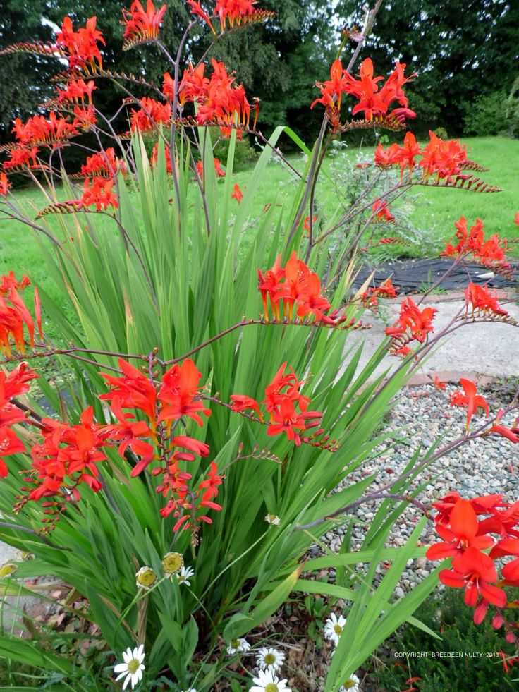 Crocosmia ~ Lucifer. I have this in my garden. It's beautiful and the hummingbirds love it!