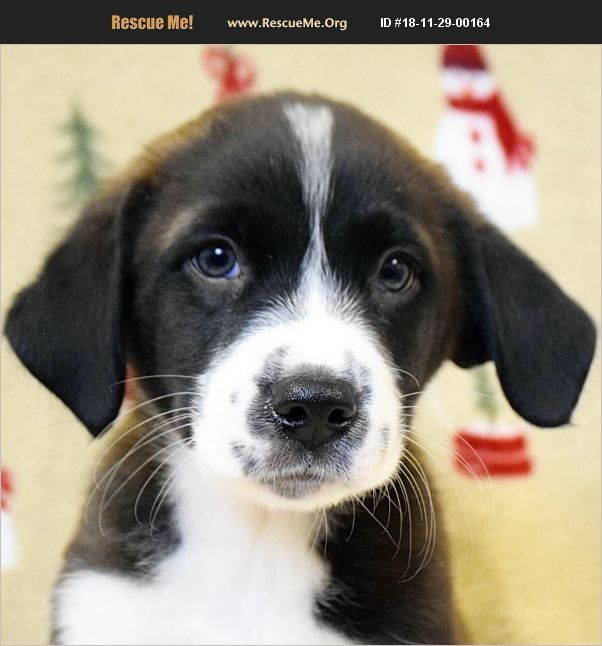 Australian Shepherd Huntley Il With Images Australian Shepherd Dog Adoption Australian Shepherd Rescue