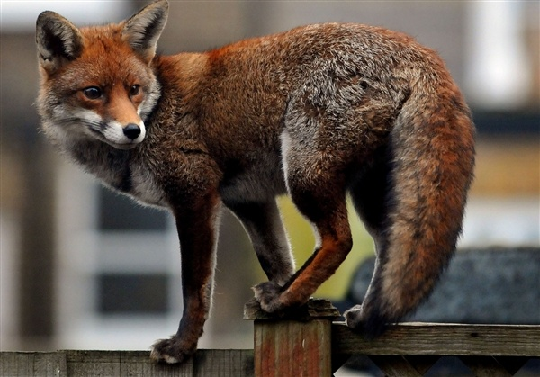 Red Fox by Jim Dyson