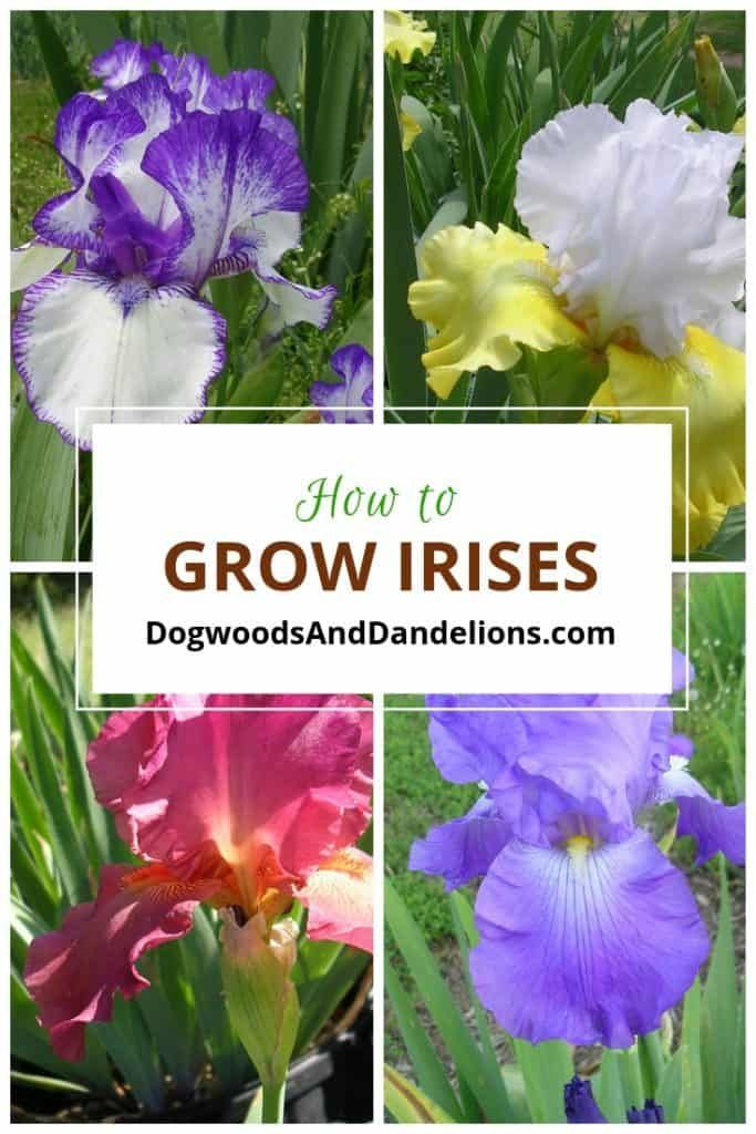 How To Grow Irises In 2020 Iris Flowers Garden Growing Irises Iris Flowers