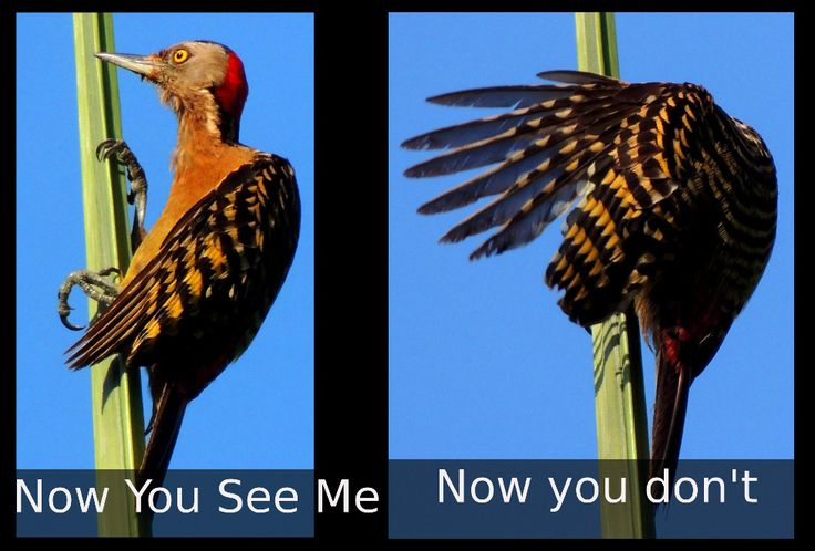 """""""Now you see me""""  """"Now you don't"""" Hispaniolan Woodpecker(Dominican Republic June 2014) Sergio http://CaliforniaApostille.us"""