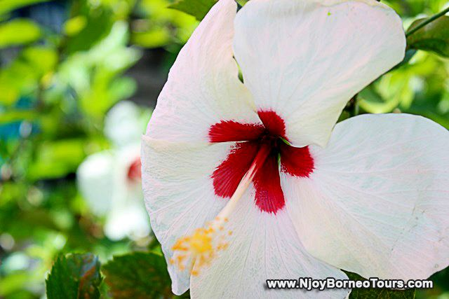 White hibiscus nearby the gong making shop