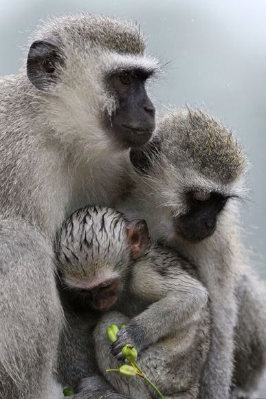 Vervet monkeys during unseasonably rainy and cold summer weather in Skukuza, Kruger National Park, South Africa | © Johannes de Wet