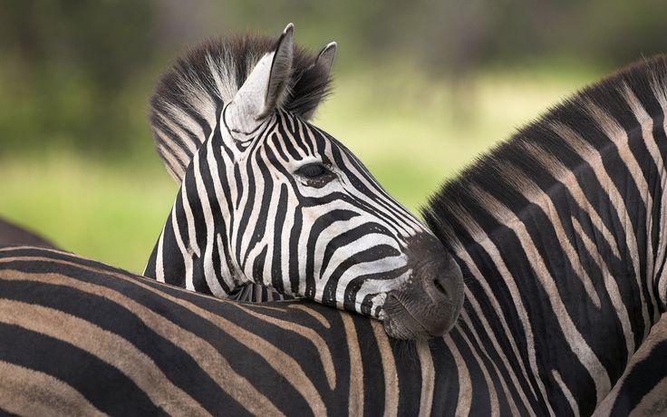 Скачать обои африка, зебра, савана, раздел животные в разрешении 1920x1200