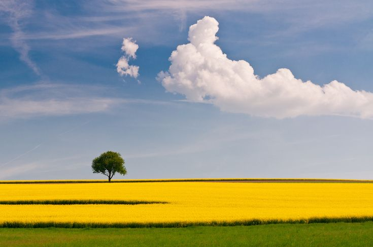 Rapeseed And the Tree: Photography Challenges, Natural Photography, Open Spaces, Color, Trees, Landscape Photography, Cloud, Photography Tips, Digital Photography