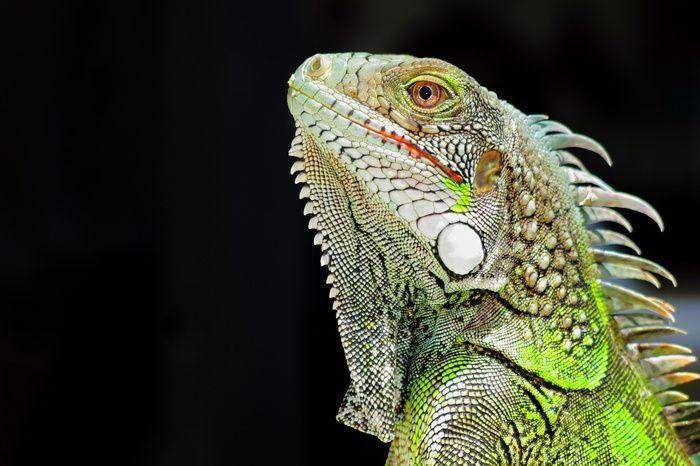 ペット トカゲの飼い方 種類 寿命 値段まとめ おすすめ旅行を探すならトラベルブック Travelbook トカゲ ペット イグアナ