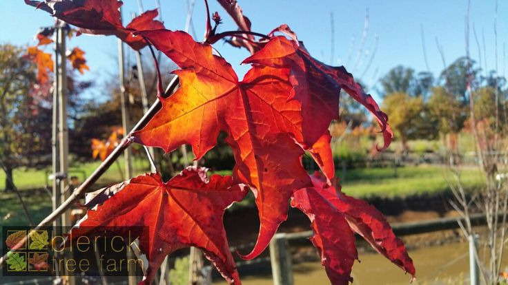 Acer platanoides – Crimson King – Purchase Bare Rooted Trees Online