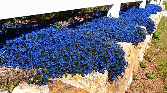 100pcs//bag Creeping Thyme Seeds or Blue Rock Cress Seeds Perennial Ground cover flower Natural growth for home garden 5