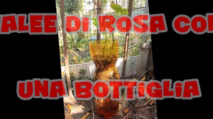 Talee di rosa con una bottiglia / Talee di rose recise