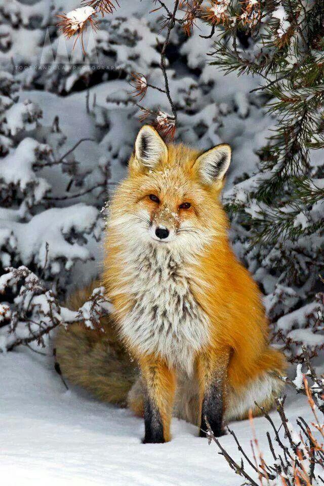 Beautiful | Fuchs haustier, Süßeste haustiere, Tiere