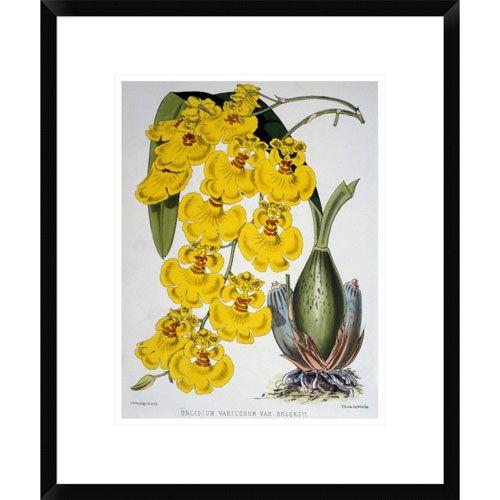 Oncidium Varicosum Var. Rogers Ii By Samuel Jennings, 22 X 18-Inch Wall Art