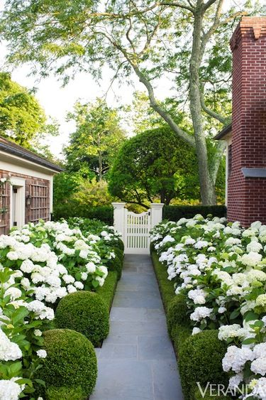 Blooming pathway of white hydrangea + shaped boxwood hedge :: Thomas Pheasant Southampton :: Veranda