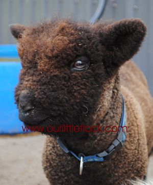 Baby doll sheep, our little flock - Lambs for Sale