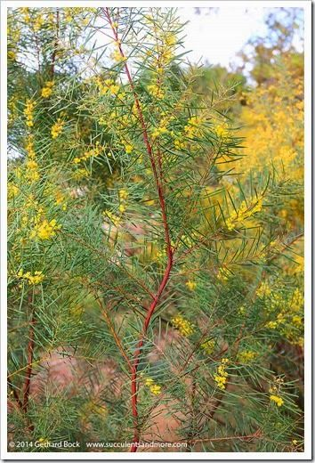 Snowy River wattle (Acacia boormanii)