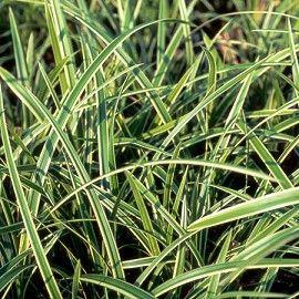 Carex morrowii 'Ice Dance' -12€ les 3 Arrosage : normal Composition du sol : normal, terre de bruyère, riche en humus Densité de plantation : 6/m² Exposition : mi-ombre, ombre Feuillage : persistant Hauteur à maturité : 0, 45 m Humidité du sol : normal, sec, humide Largeur à maturité : 0, 25 m PH du sol : neutre, acide, alcalin Période de plantation : toute l'année hors gel Température minimale : -15°C Utilisation en jardin : massif, bordure, sous-bois, couvre-sols