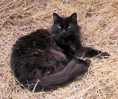 black tiffany kitties (makes me miss my little one) - black fur, green eyes, hay
