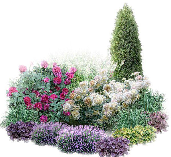 Вертикаль: туя западная ?Smaragd?. Розы: William Sheakespeare, Molineux. Партнеры: злаки, бордюр из гейхер, лаванда.
