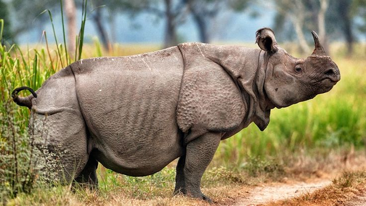 Javan rhinos are the most threatened of the five rhino species, with 60 individuals surviving in Ujung Kulon National Park in Java, Indonesia. Vietnam's last Javan rhino was poached in 2010.