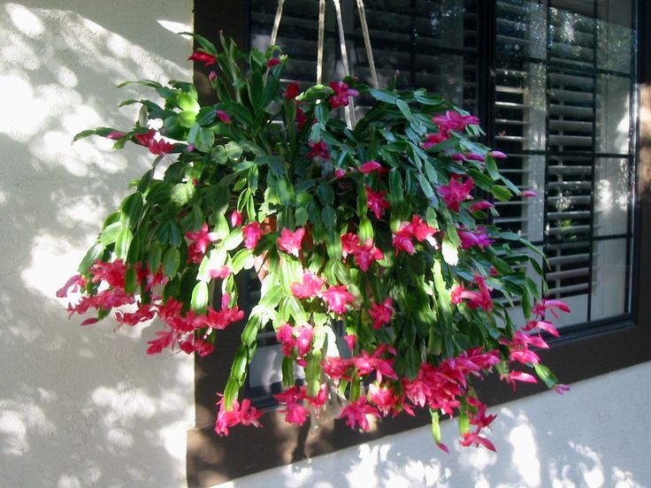 christmas tree cactus garden - photo #20