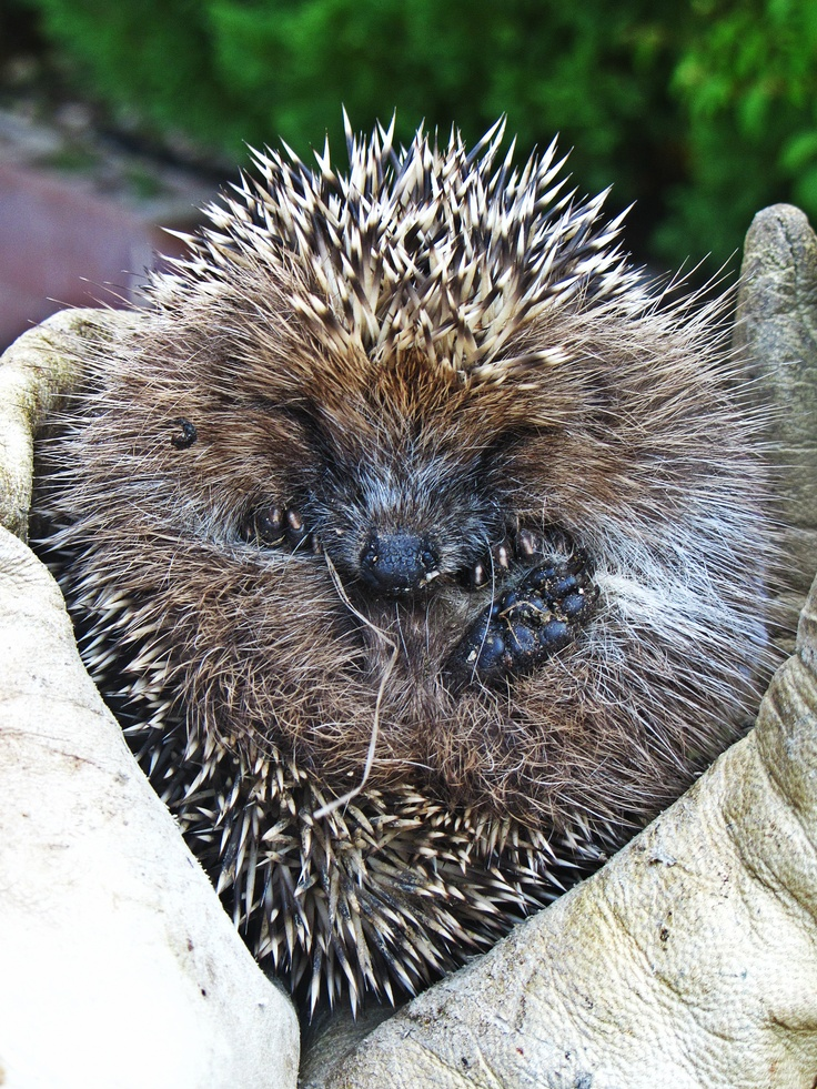 Surprises! Like finding this lovely hedgehog in the garden! #makesmehappy @White Stuff UK