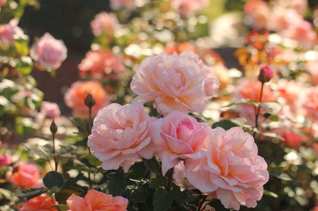 profusion of roses