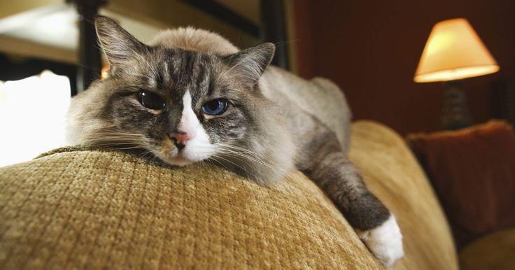 Como alimentar com uma seringa um gato que não come. Um gato pode parar de comer por uma série de razões, incluindo dor de dente, doença ou lesão. Alguns animais somente se alimentarão se a ração for macia, mas os mais teimosos ou doentes devem ser alimentados à força. Você pode fazê-lo com uma colher, se ele abrir a boca, mas se o animal não mostrar nenhum interesse em alimentos, uma seringa pode ...