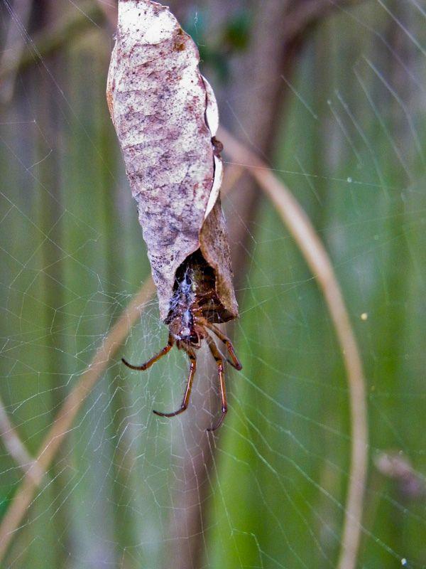Arquitetos menores - Casulo de folha A Phonognatha graeffei é uma aranha australiana encontrada tanto em florestas como em regiões urbanas. Ela usa folhas secas para construir um esconderijo bem no centro de sua teia, fechada no topo e com uma abertura embaixo. Quando uma presa passa perto da folha, ela ataca. Quanto têm filhotes, as fêmeas constroem uma casa semelhante para eles, que funciona como berçário. O que destaca esse aracnídeo é a habilidade de usar outros materiais além das folhas…