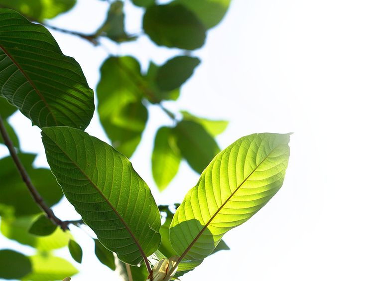 we strive to provide the high quality kratom on a consistent basis