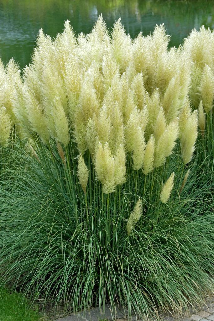 Don 39 t pass on grass american meadows blog grasses for Tall perennial ornamental grasses