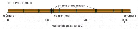 The origins of DNA replication on chromosome III of the yeast S. cerevisiae