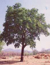 Margosa, Árbol del Neem.