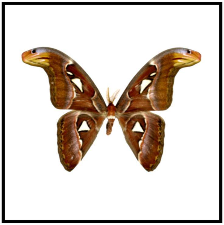 "Acrylic Display Box - Atlas Moth - Male - 10"" X 10"" - #90010-04"