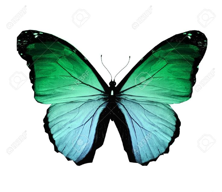 Morpho Green Butterfly , Isolated On White Stock Photo, Picture ...